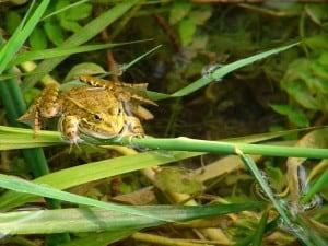 צפרדע בשמורת קרקא